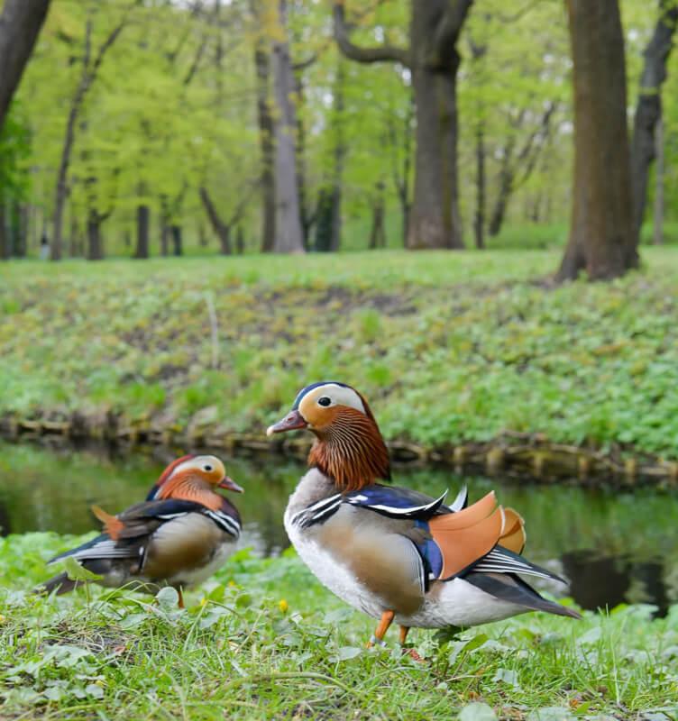 Ducks in the park